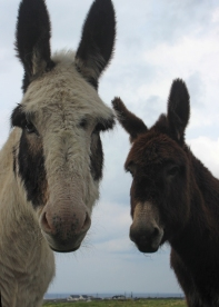 Donkeys in The Burren, Ireland