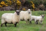 Sheep at Downpatrick Head, County Mayo, Ireland