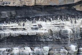 Guillemots nesting on the one of the ledges of the Dun Briste, County Mayo, Ireland