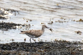 Long-billed curlew (Numenius americanus) eating a sand crab, County Donegal, Ireland