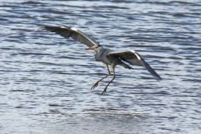 Grey Heron in Dungarvan