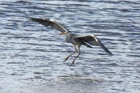 Grey Heron in Dungarvan
