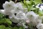 Weiße Pfingstrosen - Japanese Gardens - Kildare