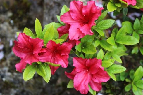 Rote Garten Azaleen - Japanese Gardens - The Irish National Stud - Kildare