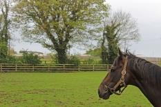 Stallion - The Irish National Stud - Kildare