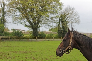 Stallion - The Irish National Stud - Kildare