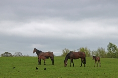 Mares and Foals - The Irish National Stud - Kildare
