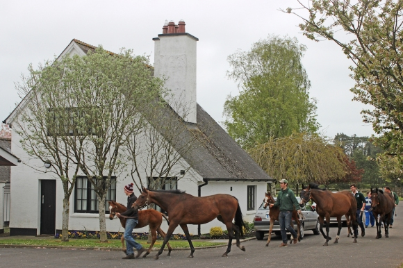Mares and Foals brought back to the stable for the night - The Irish National Stud - Kildare