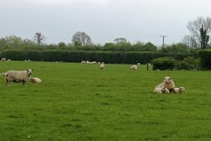 Sheep and lambs at Duckett's Grove