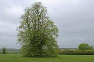 Tree at Duckett's Grove