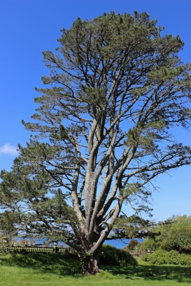 Tree at Bantry Garden, County Cork, Ireland