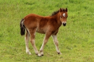 Foal, Dingle Peninsula, Ireland