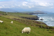 Sheep, Southwest Coast of Dingle Peninsula close to Dunbeg Promontory Fort, Ireland