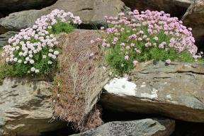 Strand-Grasnelken (Armeria maritima) - Thrift - Dingle Peninsula - Ireland