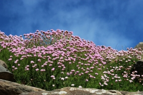 Strand-Grasnelken (Armeria maritima) - Thrift - Dingle Peninsula - Ireland