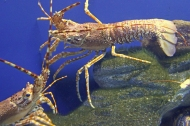 South Coast Rock Lobster - Palinurus gilchristi at Two Oceans Aquarium, Cape Town, South Africa