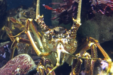 West Coast Rock Lobster - Jasus lalandii at Two Oceans Aquarium, Cape Town, South Africa