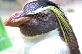 Rockhopper Penguin at Two Oceans Aquarium, Cape Town, South Africa