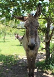 Donkeys on Isla de la Toja, Galicia, Spain