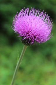 Flower on Islas Cies, Galicia, Spain