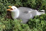 Breeding seagull on Islas Cies, Galicia, Spain
