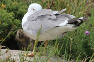 Seagull with Chick on Islas Cies, Galicia, Spain