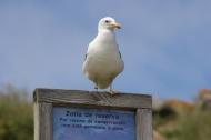 Seagull on Islas Cies, Galicia, Spain