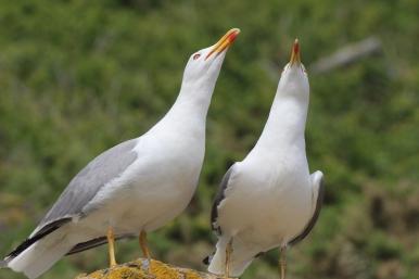 Seagulls on Islas Cies, Galicia, Spain