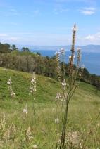 Affodil (Asphodelus albus) on Islas Cies, Galicia, Spain