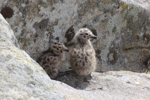 Seagull Chicks on Islas Cies, Galicia, Spain