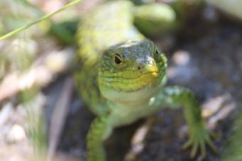 Lizard on Islas Cies, Galicia, Spain