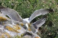 Fighting Seagulls on Islas Cies, Galicia, Spain