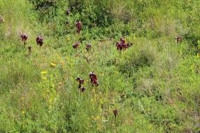 Orchids on Islas Cies, Galicia, Spain