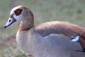 Egyptian Goose - Nilgans (Alopochen aegyptiacus) - in Cape Town, South Africa
