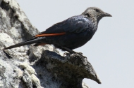 Red-winged starling (Onychognathus morio) on Table Mountain, South Africa