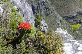 Crassula coccinea (Red Crassula) on Table Mountain, South Africa
