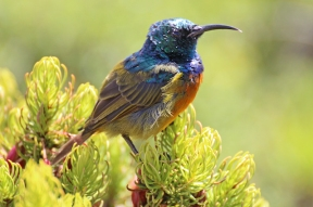 Orange breasted sunbird (Anthobaphes violacea) on Erica, Table Mountain, South Africa