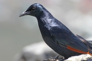 Male red-winged starling (Onychognathus morio) on Table Mountain, South Africa