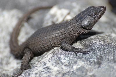 Cordylus niger, the black girdled lizard, is a medium-sized lizard restricted to Table Mountain, South Africa