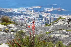 Watsonia flowers (Watsonia stokoei) - View from Table Mountain over Cape Town, South Africa