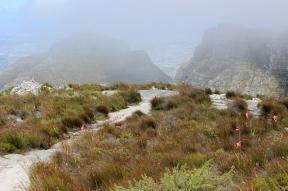 Watsonia flowers (Watsonia stokoei) - View from Table Mountain, South Africa