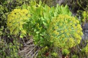 Blister Bush (Notobubon galbanum) on Table Mountain, South Africa