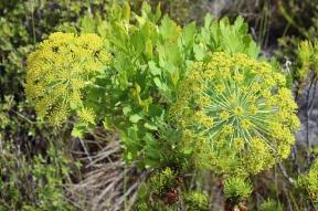 Blister Bush (Notobubon galbanum) on Table Mountain, South Africa