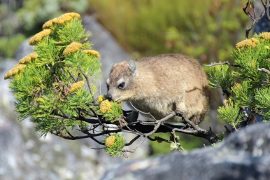 Rock hyrax (Procavia capensis) or rock badger, also called the Cape hyrax and commonly referred to in South African English as the dassie, photographed on Table Mountain, South Africa