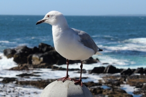 Hartlaub's gull or king gull, (Chroicocephalus hartlaubii) in Cape Town, South Africa