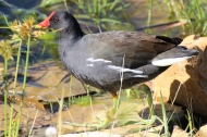 Teichralle / Teichhuhn - Gallinula chloropus (Common moorhen) in Cape Town, South Africa