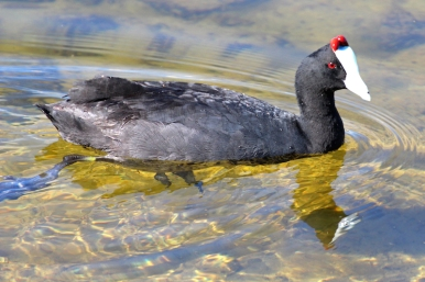 Red-knobbed coot or crested coot - Kammblässhuhn (Fulica cristata) in Cape Town, South Africa