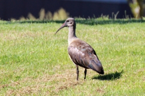 Hadeda or Hadeda Ibis (Bostrychia hagedash) in Cape Town, South Africa