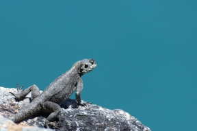 Southern rock agama (Agama atra) at Cape Point, South Africa