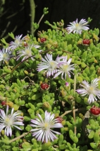 Mesembryanthemum crystallinum - Cape Point, South Africa